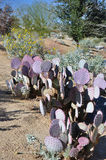 Purple-tinged cactus Stock Photos