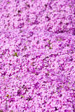Purple tiny flowers. Small purple flowers with buds in the form of stars, with five petals, growing a continuous carpet royalty free stock photos
