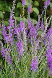 Purple Toadflax. Growing beside river Trent Royalty Free Stock Photography