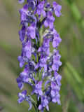 Purple Toadflax Stock Images
