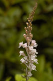 Purple Toadflax Stock Photography