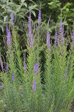 Purple Toadflax Royalty Free Stock Images