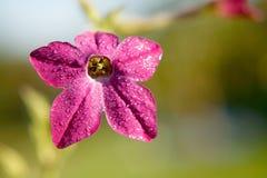Purple tobacco-plant flower Stock Photography