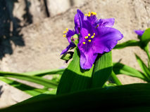A Purple Tradescantia. Beautiful purple Tradescantia tells you good morning Royalty Free Stock Images