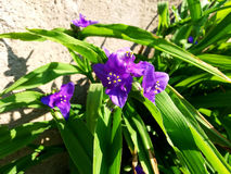 Purple Tradescantia. Tradescantia is telling you good morning Stock Photography
