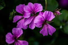 Purple Trailing Geraniums. A small group of purple trailing Geranium flowers stock images