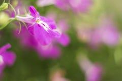 Purple Trailing Lobelia Sapphire flowers or Edging Lobelia, Garden Lobelia. Its Latin name is Lobelia Erinus Sapphire, native to South Africa, Malawi and Stock Photo