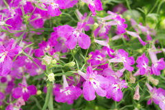 Purple Trailing Lobelia Sapphire flowers or Edging Lobelia, Garden Lobelia. Its Latin name is Lobelia Erinus Sapphire, native to South Africa, Malawi and Stock Image