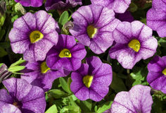 Calibrachoa Noa Blue Stock Images
