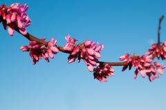 Purple tree cercis canadensis blossom, close-up stock image