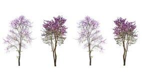 Purple tree & x28;Lagerstroemia& x29; isolated on white background.  Stock Photo