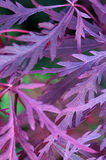 Purple Tree Leaves Royalty Free Stock Photos