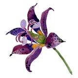 Purple tricyrtis floral botanical flower. Watercolor background illustration set. Isolated lilya illustration element. Purple tricyrtis floral botanical flower royalty free illustration