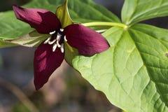 Purple Trillium. Spring blooming of wild purple trillium (trillium erectum) in New England forests Royalty Free Stock Photography
