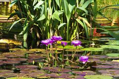 Purple Tropical Flowers and Lily Pads in a Pond. Close up for vibrant purple lily like flowers in surrounded by lily pads floating in a pond on a sunny afternoon stock photography