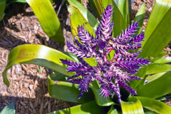 Purple tropical plant Royalty Free Stock Photo