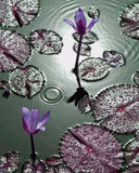 Purple tropical water lilies with water droplets Stock Photo