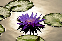 Purple tropical water lily Stock Photography