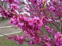 Purple tsertsis flowers in raindrops Royalty Free Stock Photo