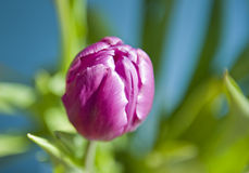 Purple Tulip Stock Photo