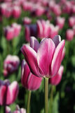 Purple tulip. In a blossoming garden in the summer day Stock Images