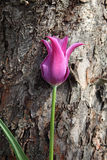 Purple tulip Royalty Free Stock Photography