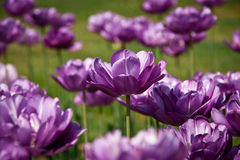 Purple tulip Stock Image