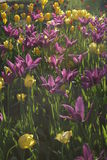Purple tulip. Field of purple and yellow tulip stock images