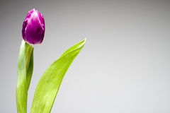 Purple tulip. Dutch tulip stock photos