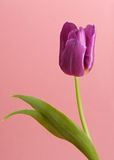 Purple tulip Royalty Free Stock Image