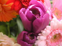Purple tulip. Close up shot of a purple tulip surrounded by bright colored flowers Royalty Free Stock Photo