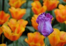 Free Purple Tulip Royalty Free Stock Photos - 5001738