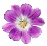 Purple tulip. Isolated on white background Royalty Free Stock Image