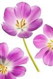 Purple tulip Stock Image
