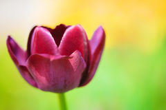 Purple tulip on the background of green grass close-up. Stock Photo