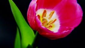 Purple Tulip on Black Background Royalty Free Stock Photography