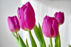 Violet tulip bouquet Royalty Free Stock Image