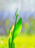 Purple tulip bud. On blurred background Royalty Free Stock Images