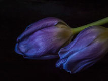 Purple tulip close-up royalty free stock images