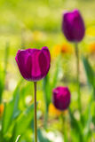 Purple tulip on color blurred background Royalty Free Stock Photography