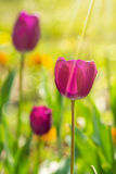 Purple tulip on color blurred background Stock Images