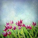 Purple tulip field Royalty Free Stock Photo