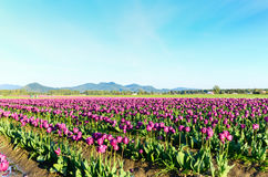 Purple Tulip Field Royalty Free Stock Images