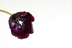 Purple tulip flower Royalty Free Stock Photos