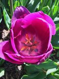 Purple tulip flower royalty free stock image