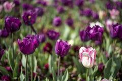 Purple Tulip flower blossom Royalty Free Stock Photo