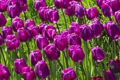 Purple tulip flower field blooming. Purple tulip flower field blooming in the garden Royalty Free Stock Image