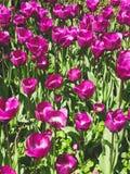 Purple tulip flower field  - flower in meadow.  Stock Photo