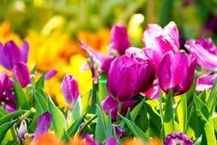 Purple tulip flower field in sunlight at the green gar. Beautiful purple tulip flower field in sunlight at the green garden Stock Photography