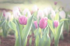 Purple tulip flower in garden, vintage toned image.  Royalty Free Stock Photo